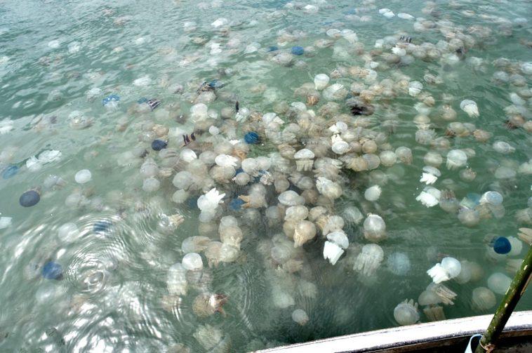 meduzy v tunise