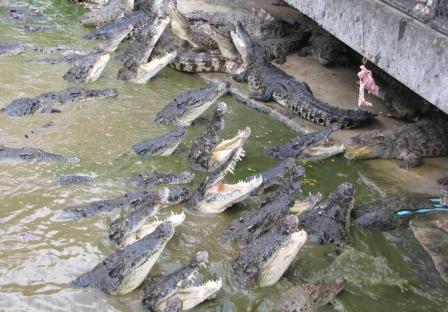 krokodilovaya ferma na phukete