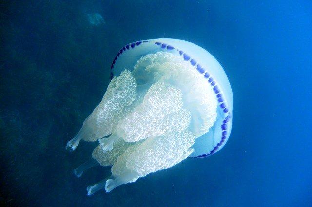 meduzy v tailande